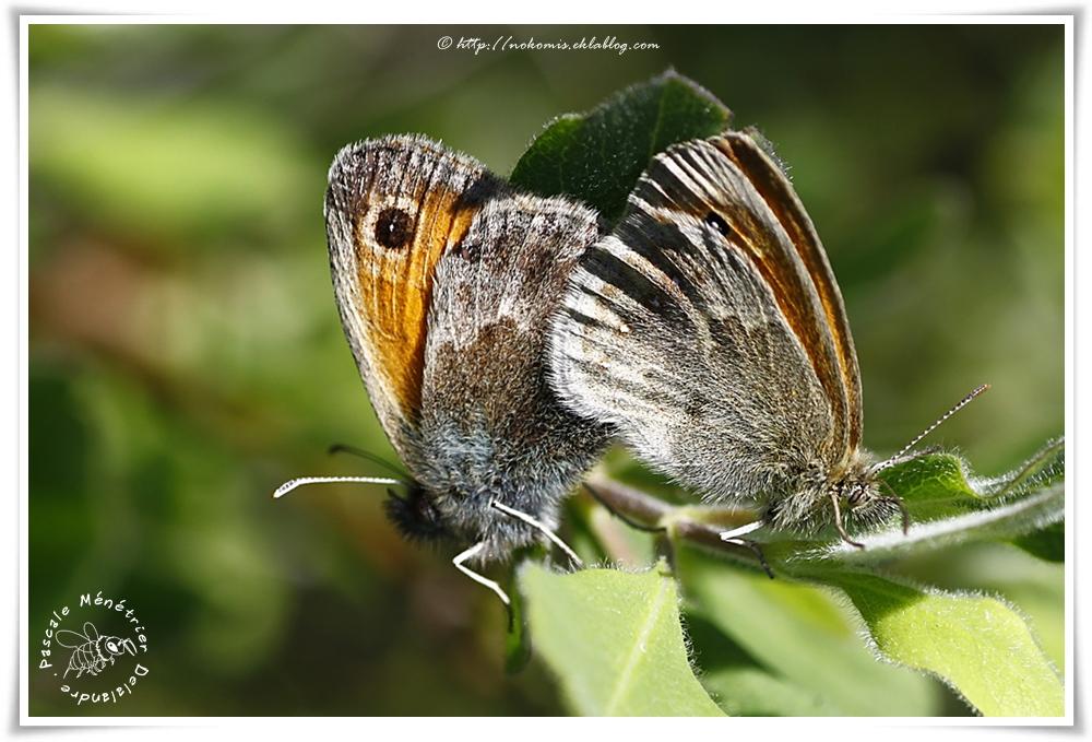 Procris - Coenonympha pamphilus - Nymphalidae Satyrinae