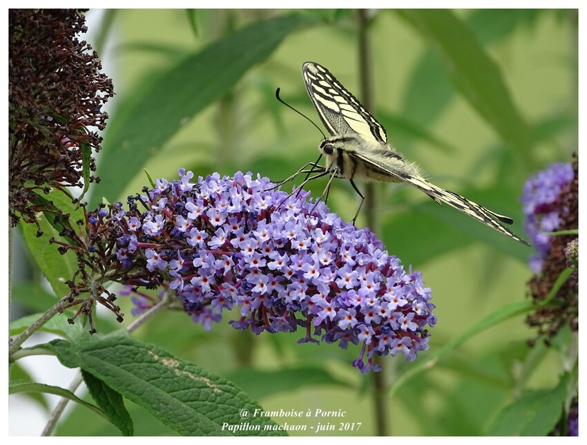 Papillon machaon du jardin - couple - Juin 2017