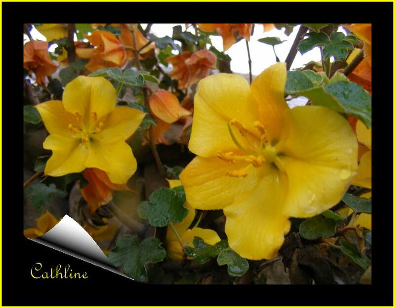 fromentodendron