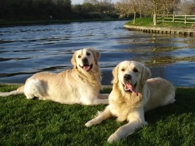 Nos Goldens adorent l'eau page 4