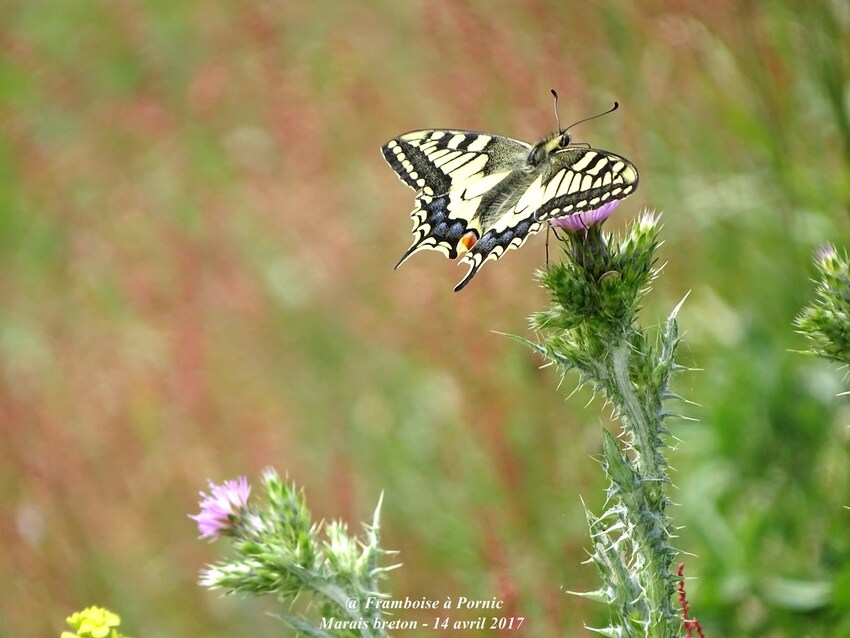papillon le machaon