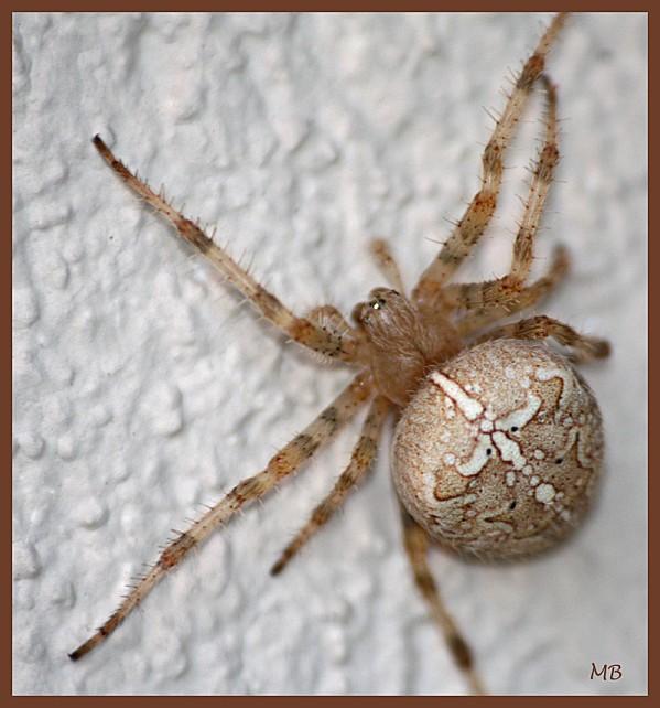 Arachnides 02 5112