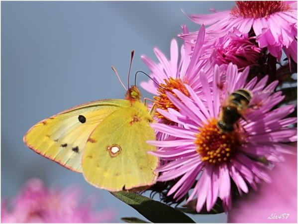 Papillons-2-3127-souci.jpg