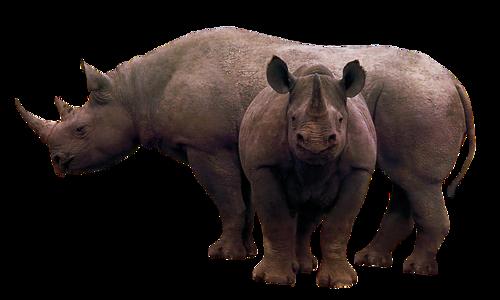 Chameaux ,dromadaire  rhinocéros etc