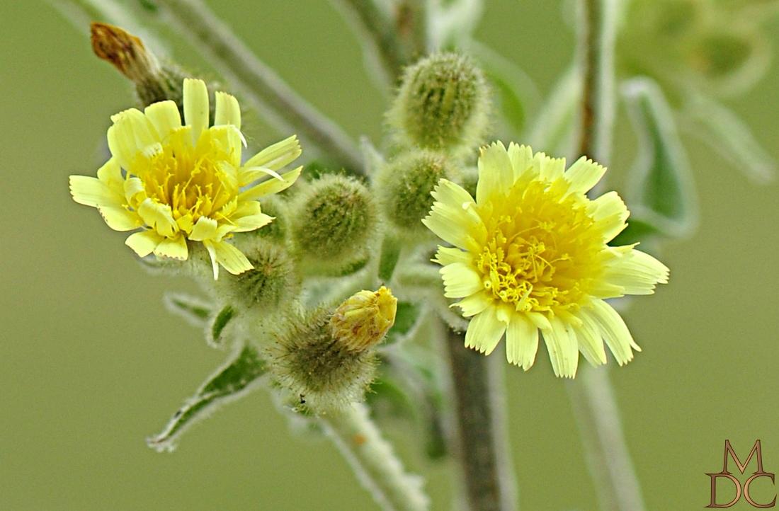 andryale à feuilles entières