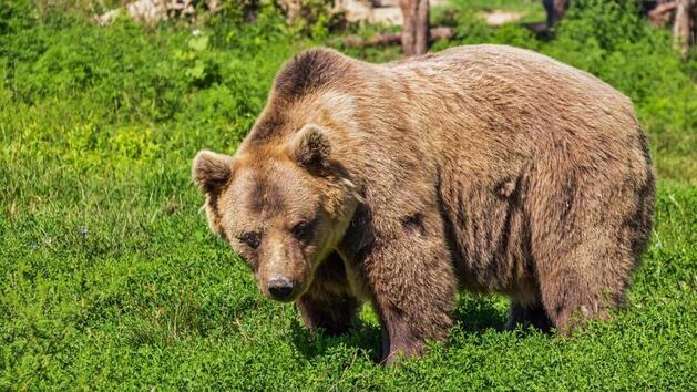 Un ours sauveteur !