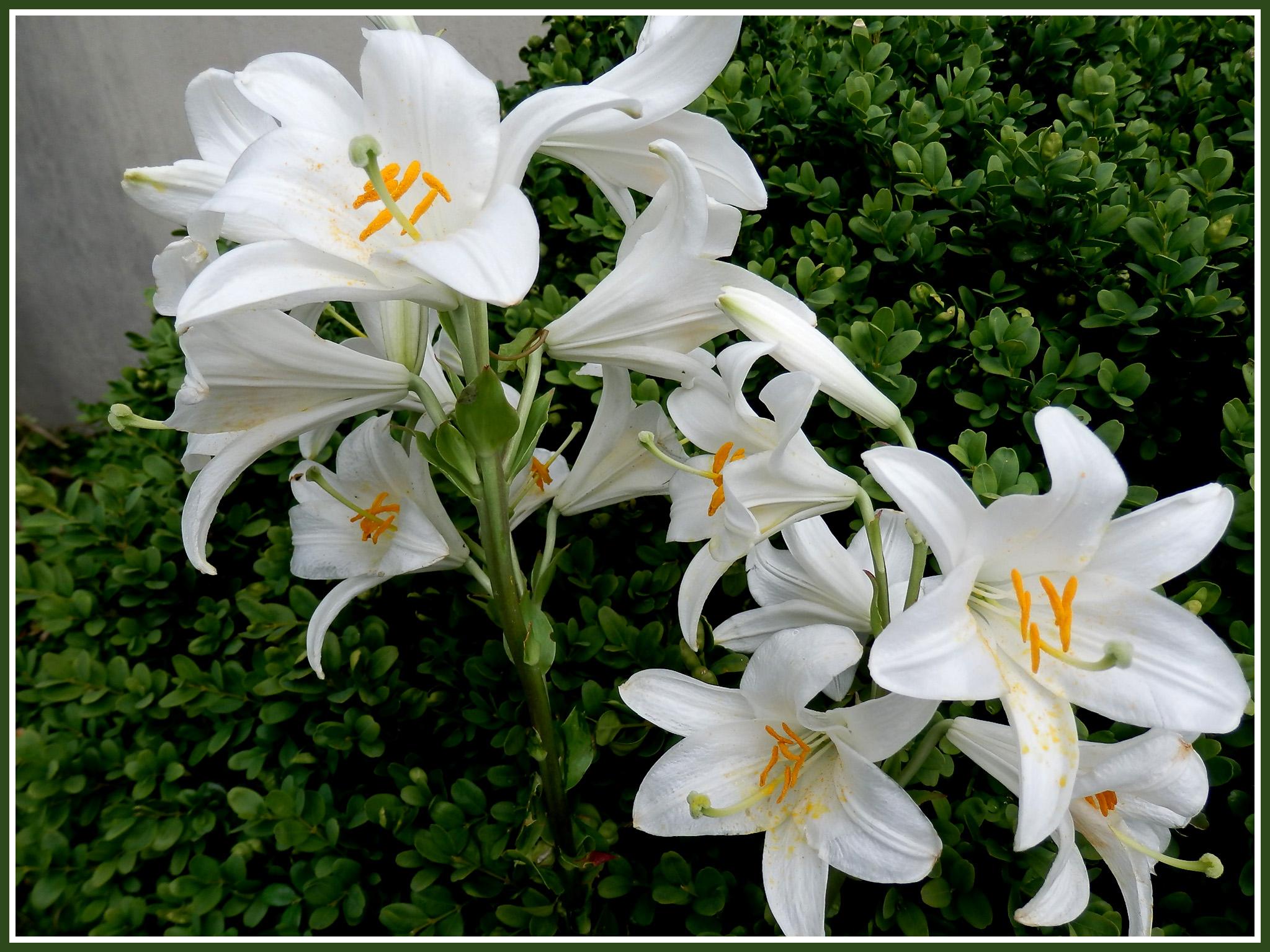 fleurs d 39 t diverses volet 4 magnolia roses images gratuites fotofree. Black Bedroom Furniture Sets. Home Design Ideas