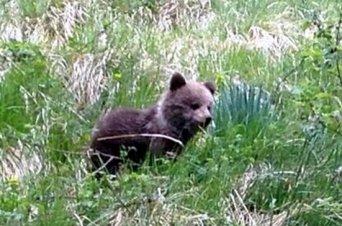 Un ourson de 3 ou 4 mois récupéré dans le Val d'Aran