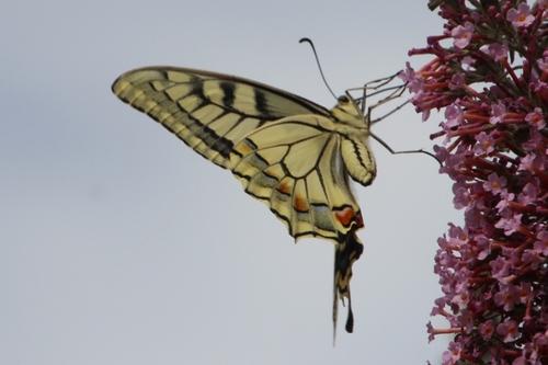 Papillons de ce jour