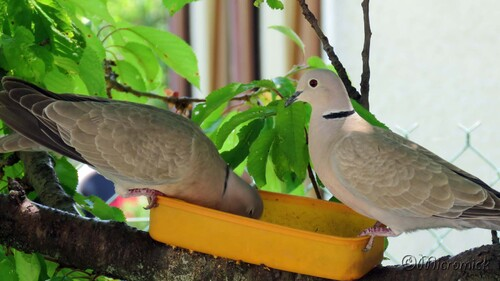 Oiseaux dans mon cerisier