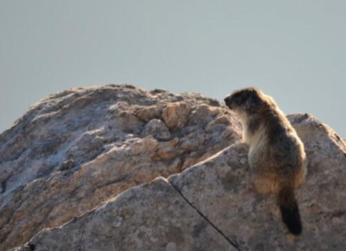 marmote1