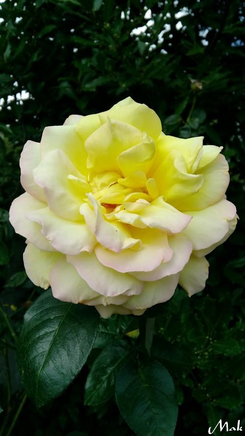 Au coeur de mon jardin 23 - Roses jaunes