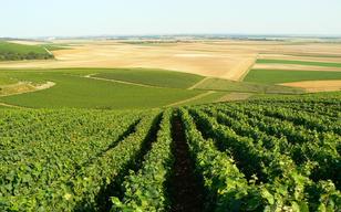Les vignes à Mécringes