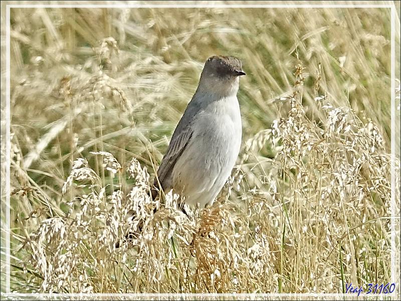 Dormilon bistré, Dark-faced Ground Tyrant (Muscisaxicola maclovianus) - New Island - Falkland (Malvinas, Malouines) - Grande-Bretagne