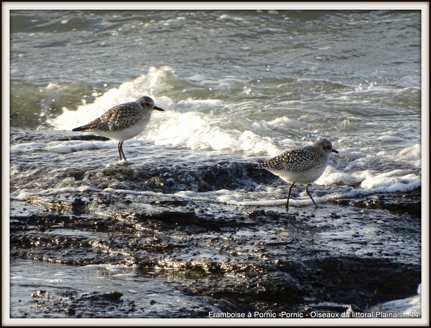 Oiseaux du littoral hiver 2018