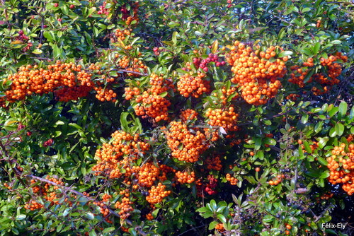 Les fruits du pyracantha