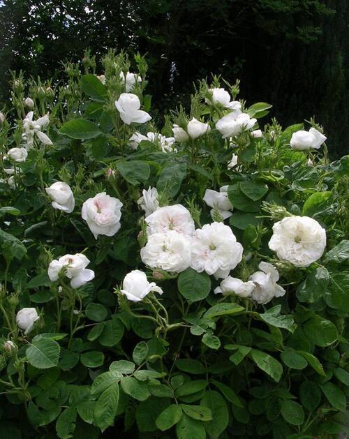 Un rosier coup de coeur: Mme Hardy