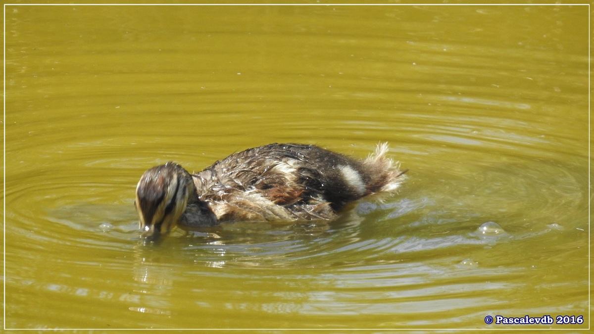 Réserve ornitho du Teich - Juin 2016 - 2/12