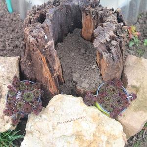Des bulbes de fleur et de la terre dans un vieux tronc d'arbre pour les voir fleurir au printemps