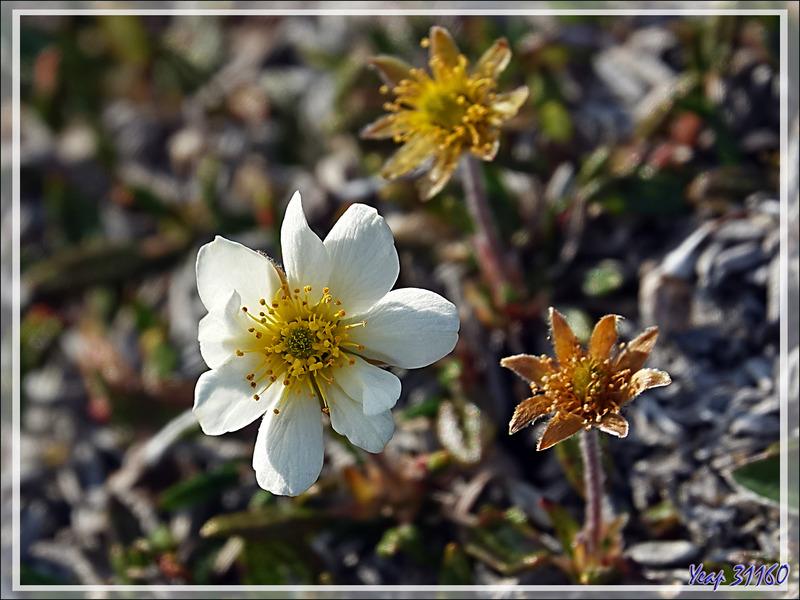 Dryade à feuilles entières, Mountain avens, Malikkaat (Dryas integrifolia) - Craig Harbour - Ellesmere Island - Nunavut - Canada