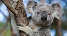 Le koala mascotte La petite robe bleue