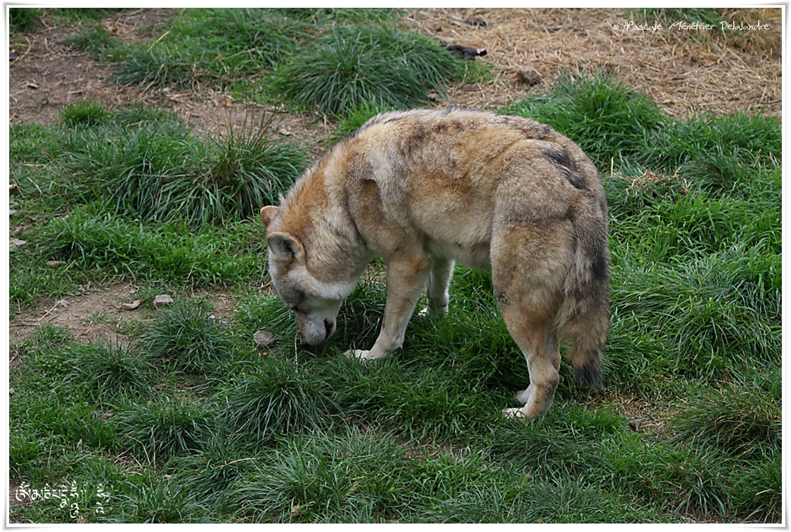 Loups de Pologne (Canis lupus lupus)