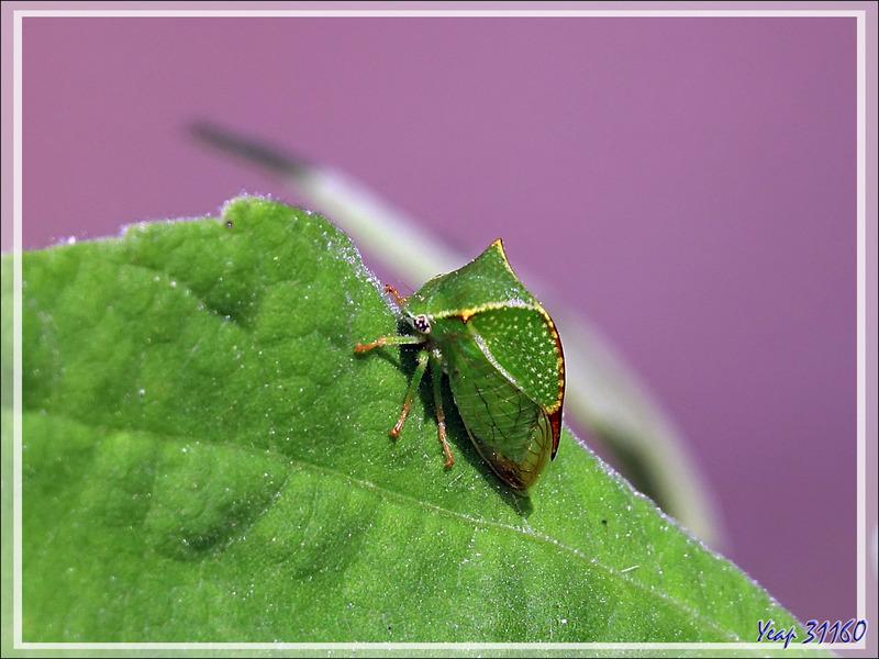 Cicadelle Membracide-bison, Cérèse buffle, Cicadelle bubale, Buffalo treehopper (Stictocephala bisonia) - Lartigau - Milhas - 31