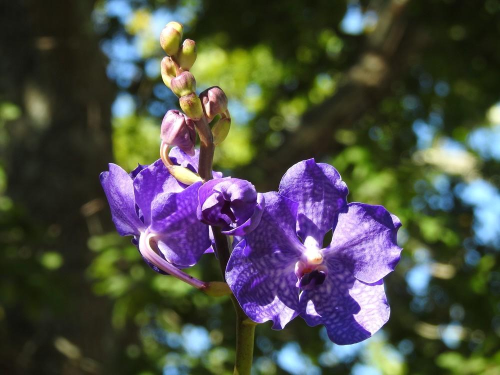 D'autres vandas en fleurs...