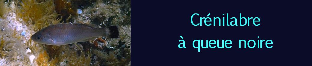 crénilabre à queue noire
