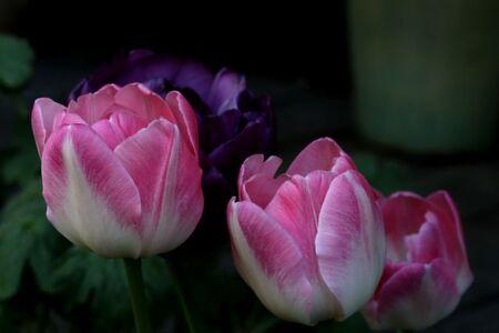 Tulipes 2015 : Foxtrot ?