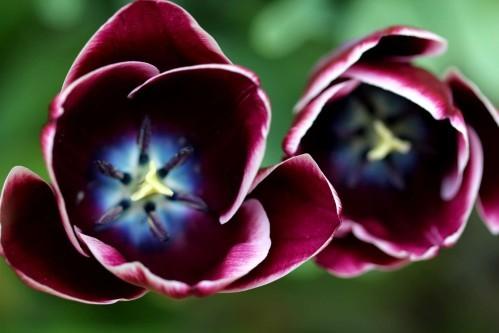 Tulipes Arabian Mystery7