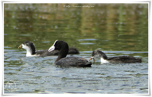 Foulques macroules - Fulica atra - Eurasian Coot