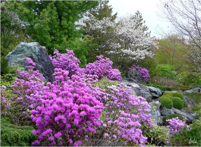 Quelques Rhododendrons et Azalées en fleurs