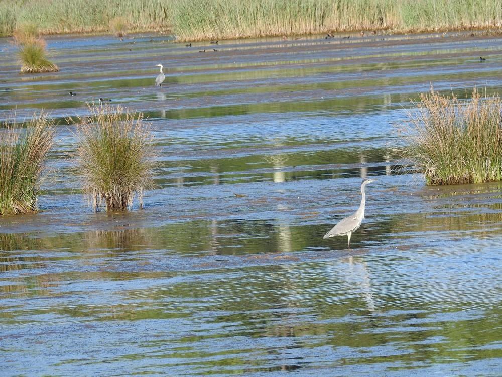 Deux hérons sur les étangs à poissons de Saint-Brice...