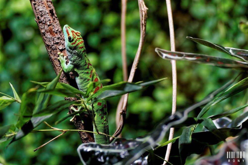Le Gecko de Madagascar