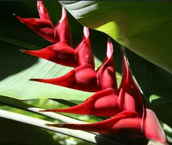 balisier fleur