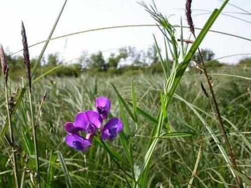 Fleurs sauvages : Gesses des marais