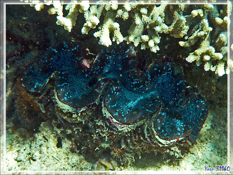 Snorkeling à Grande Mitsio : bénitier turquoise - Madagascar