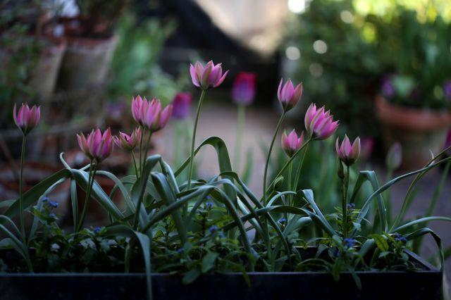 Tulipes 2020 : Norah