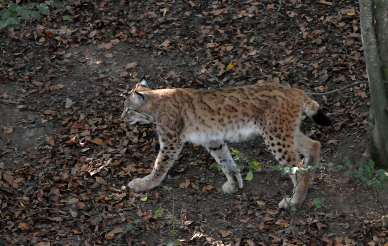 Lynx (suite et fin)