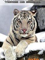 La taïga à perte de vue, une nature vierge et sauvage... : l'Extrême-Orient russe, autour de la ville de Vladivostok, constitue le royaume du tigre de Sibérie, le plus grand félin au monde. Depuis des générations, les populations autochtones vénèrent cet animal. Pourtant, il s'agit d'une espèce gravement menacée. S'il peuplait autrefois une vaste zone couvrant la Corée, une partie du nord de la Chine et l'Extrême-Orient russe, son habitat s'est réduit comme peau de chagrin. En cause : des braconniers sans scrupules, auxquels les pouvoirs publics ont déclaré une guerre ouverte.