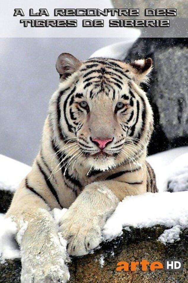 A la rencontre des tigres de Siberie