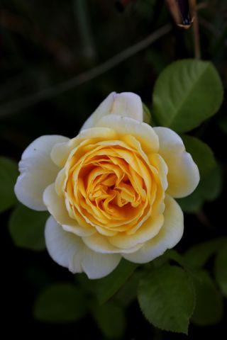 Les Roses de Warren : Bamako