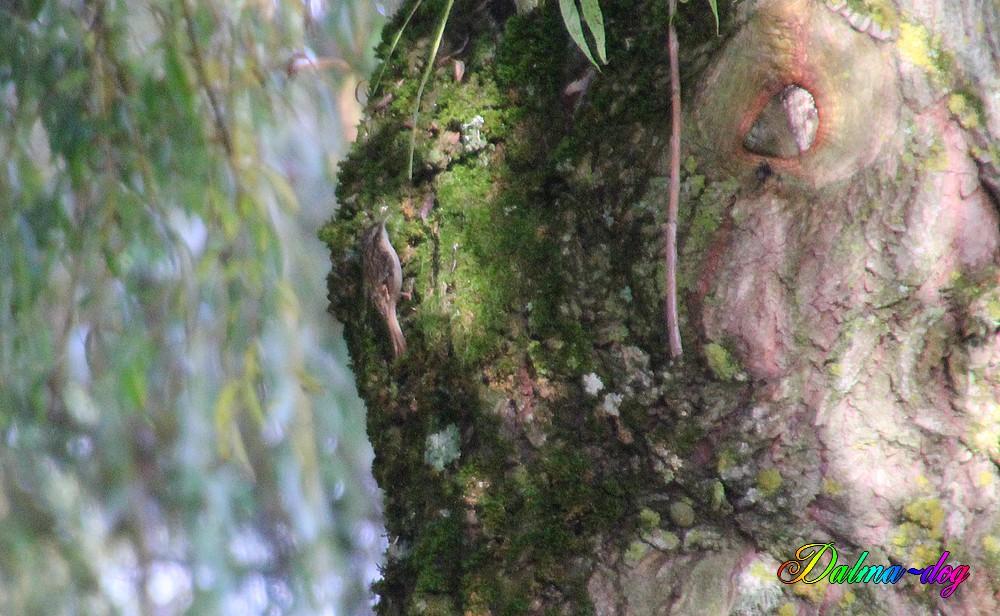grimpereau des bois ou des jardin????