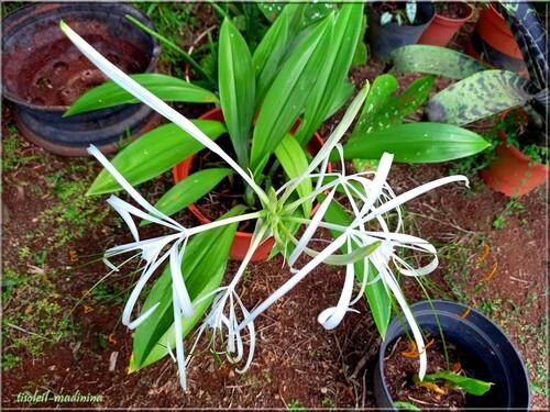 Crinum asiaticum (Lys du bengale)