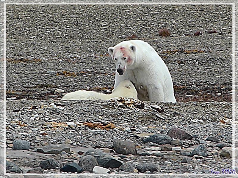L'ourson tète sa mère pendant un bon moment, puis attaque un reste de carcasse de béluga - Guillemard Bay - Prince of Wales Island - Nunavut - Canada