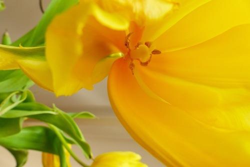 Tulipe :