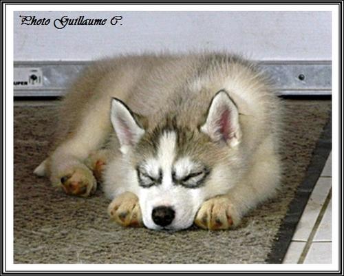 Husky sieste