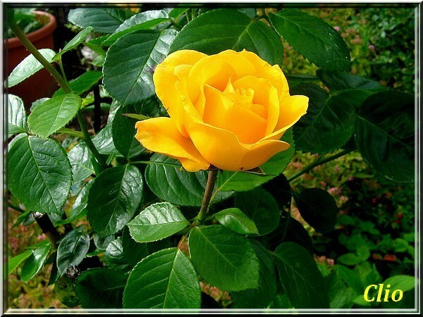 ROSES 1 (7)