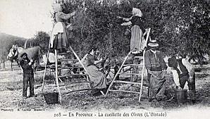 Cueillette-des-olives-5